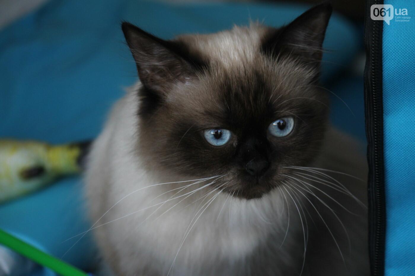 В Запорожье на выставке кошек показали 130 питомцев со всей Украины, – ФОТОРЕПОРТАЖ, фото-24
