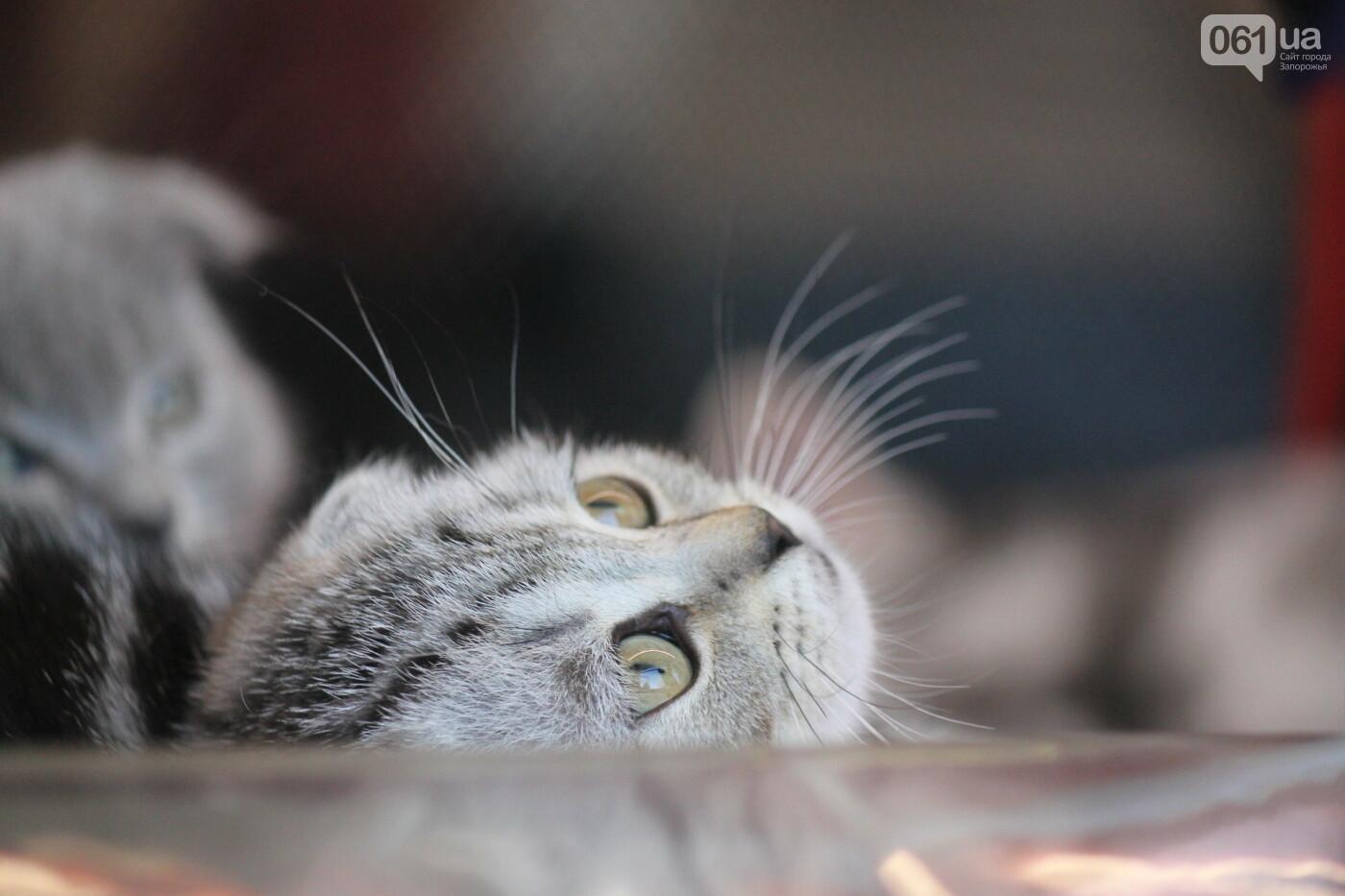 В Запорожье на выставке кошек показали 130 питомцев со всей Украины, – ФОТОРЕПОРТАЖ, фото-5