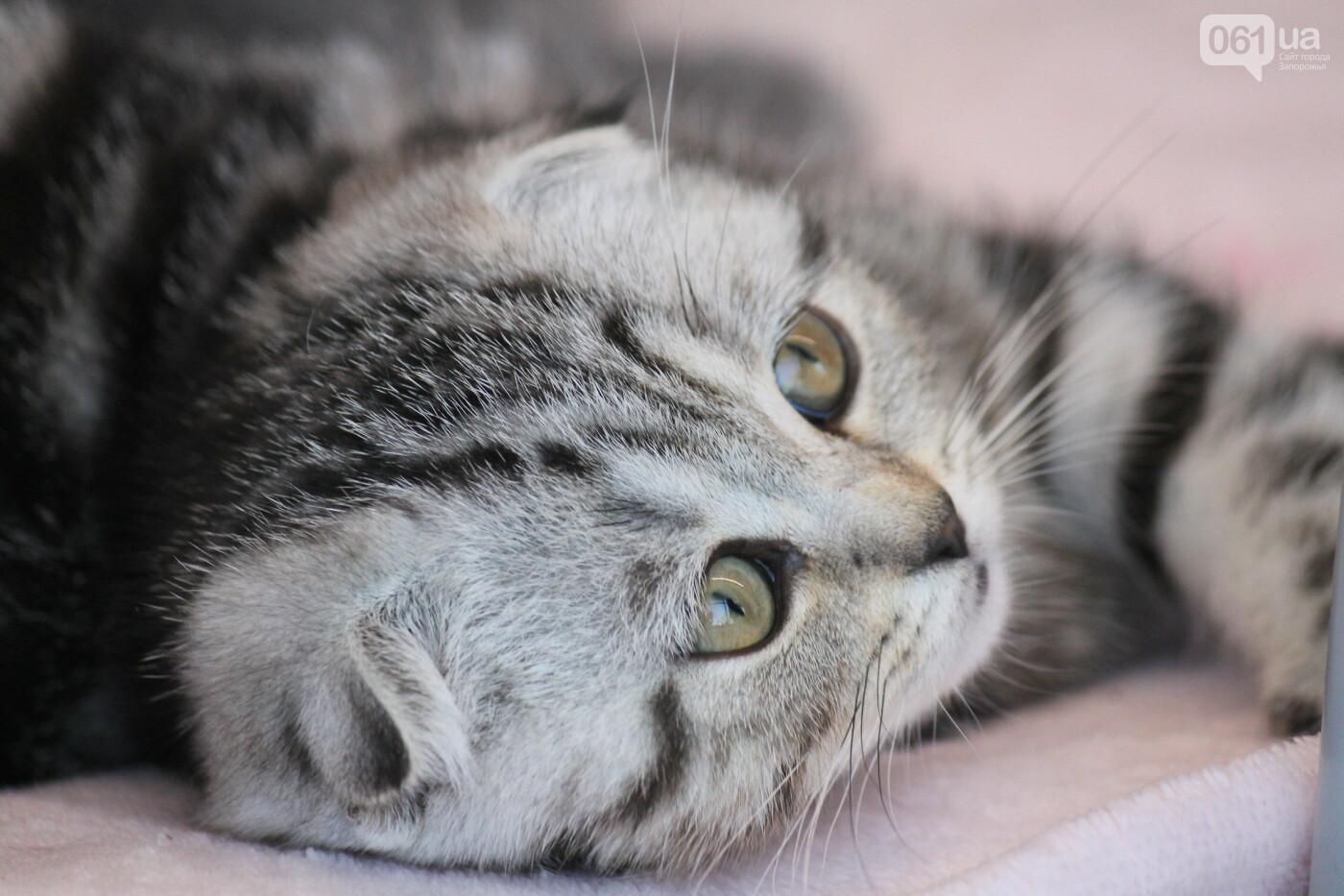 В Запорожье на выставке кошек показали 130 питомцев со всей Украины, – ФОТОРЕПОРТАЖ, фото-22
