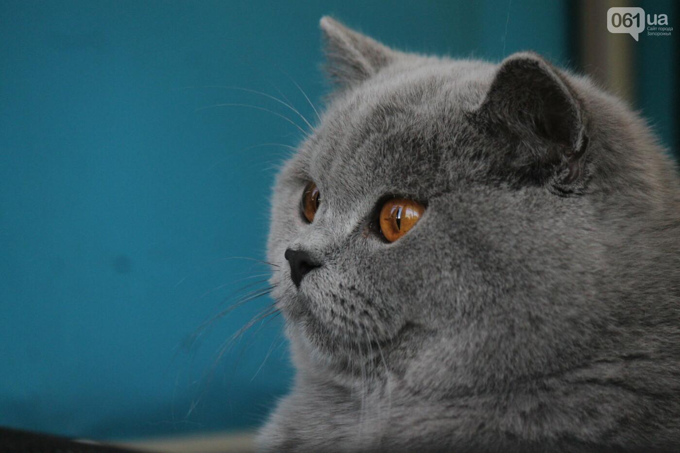 В Запорожье на выставке кошек показали 130 питомцев со всей Украины, – ФОТОРЕПОРТАЖ, фото-23