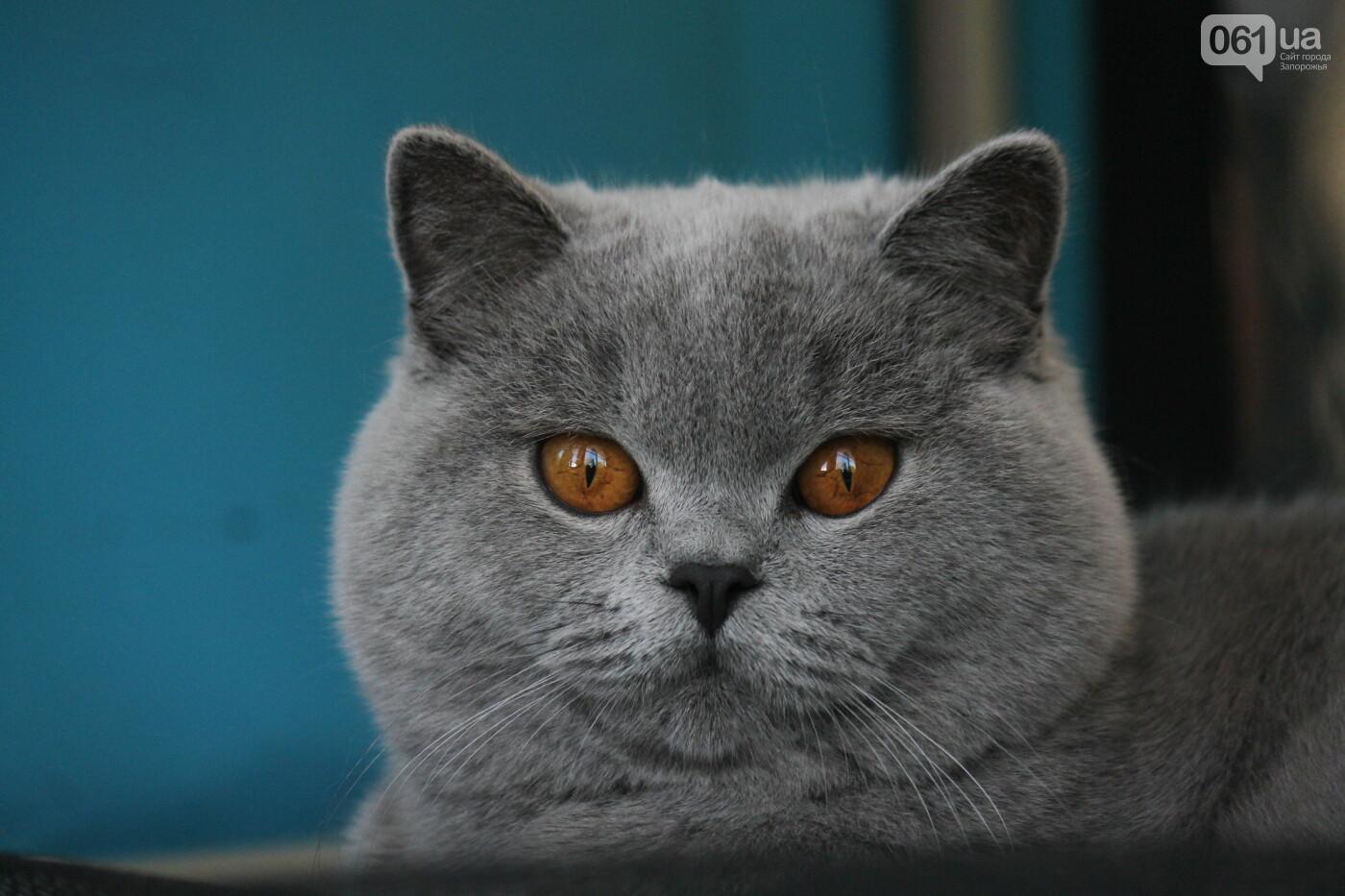 В Запорожье на выставке кошек показали 130 питомцев со всей Украины, – ФОТОРЕПОРТАЖ, фото-6