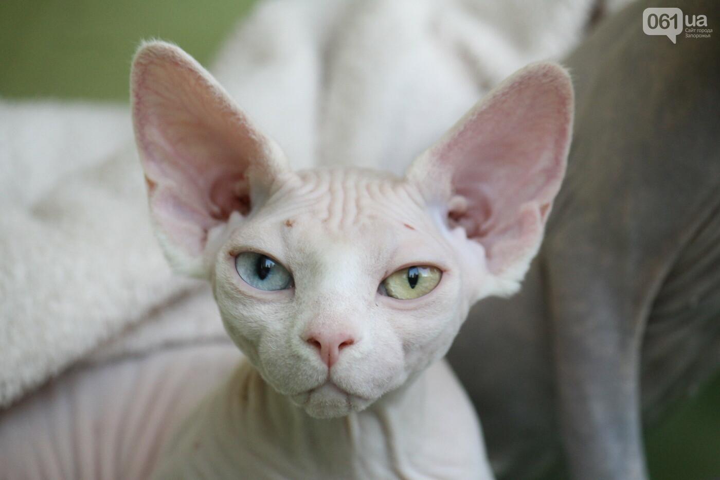 В Запорожье на выставке кошек показали 130 питомцев со всей Украины, – ФОТОРЕПОРТАЖ, фото-7