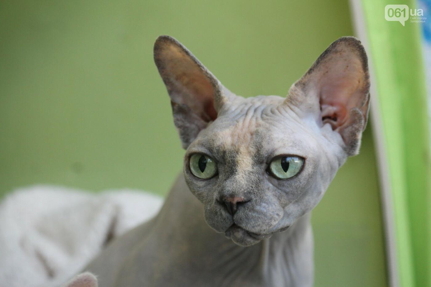 В Запорожье на выставке кошек показали 130 питомцев со всей Украины, – ФОТОРЕПОРТАЖ, фото-8
