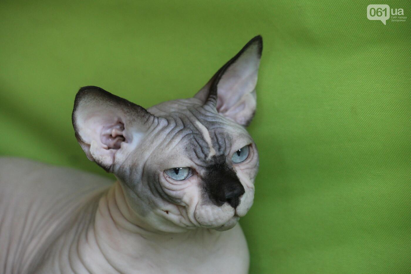 В Запорожье на выставке кошек показали 130 питомцев со всей Украины, – ФОТОРЕПОРТАЖ, фото-41