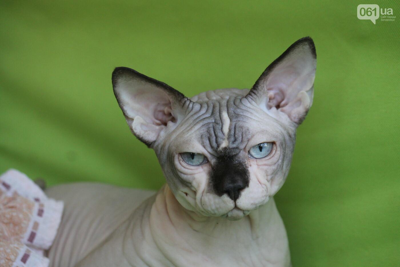 В Запорожье на выставке кошек показали 130 питомцев со всей Украины, – ФОТОРЕПОРТАЖ, фото-26