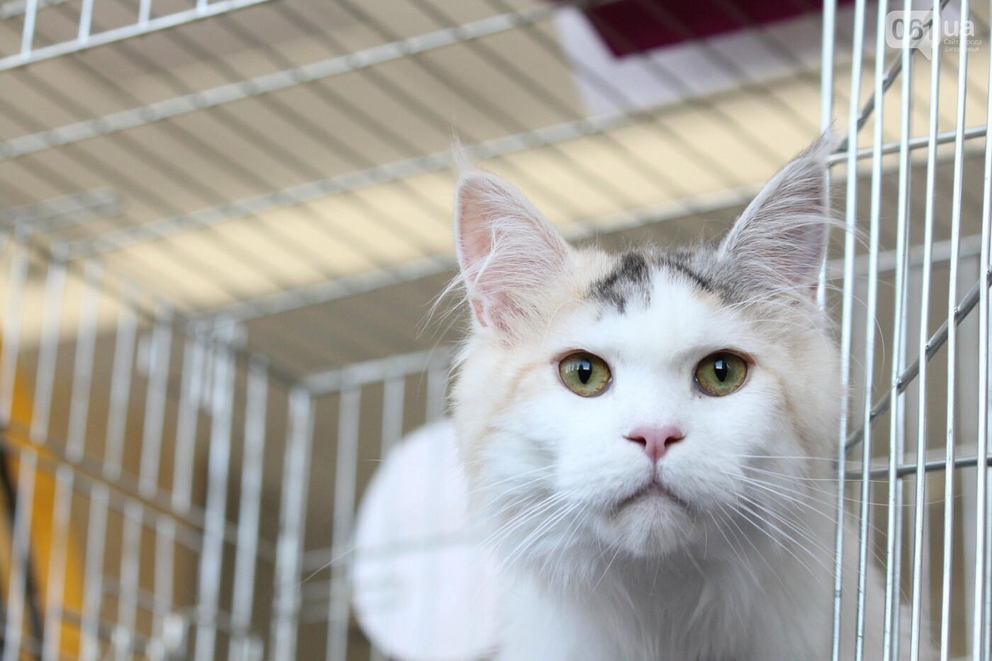 В Запорожье на выставке кошек показали 130 питомцев со всей Украины, – ФОТОРЕПОРТАЖ, фото-9