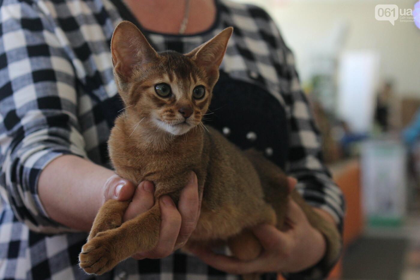 В Запорожье на выставке кошек показали 130 питомцев со всей Украины, – ФОТОРЕПОРТАЖ, фото-10