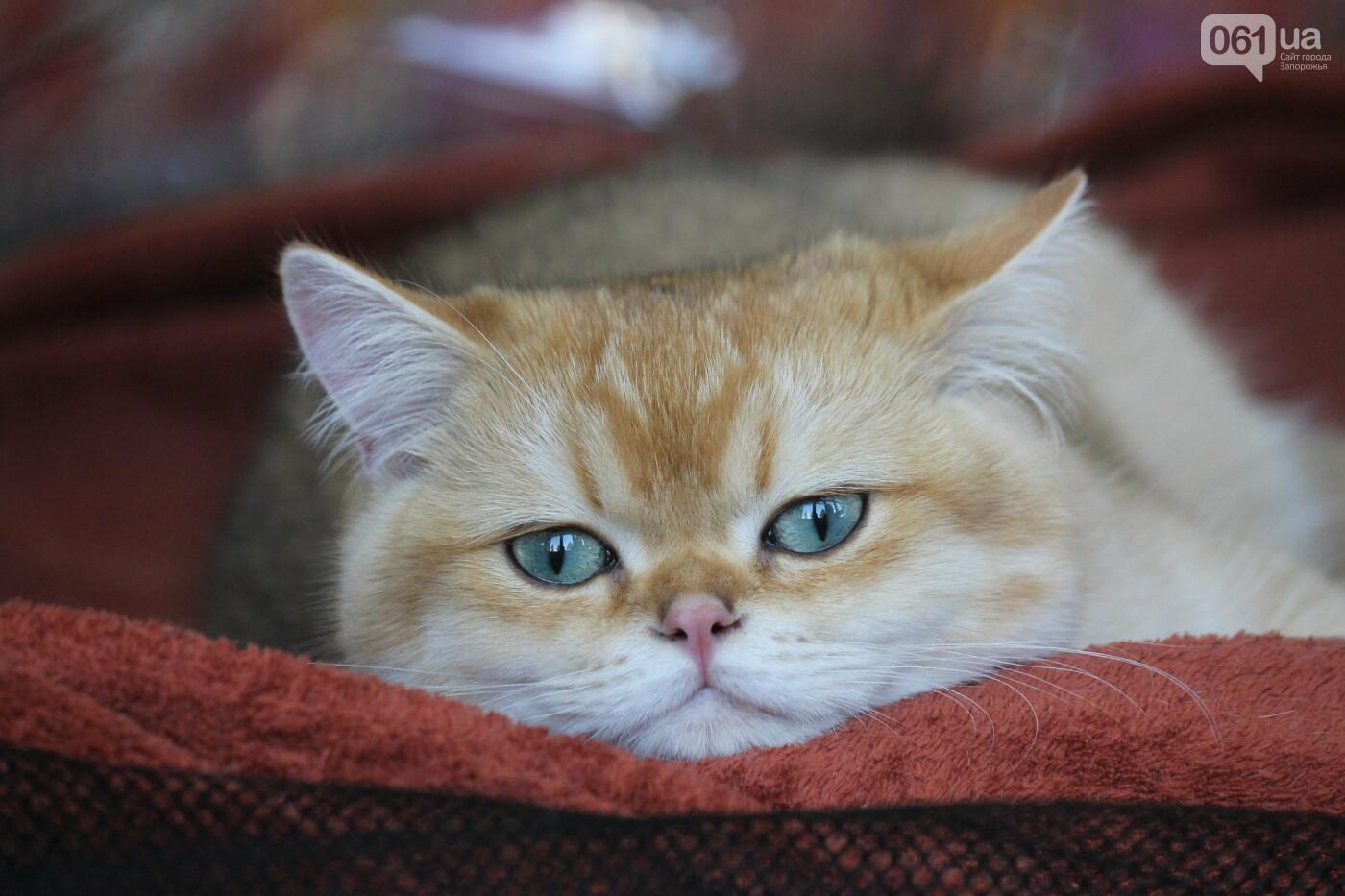 В Запорожье на выставке кошек показали 130 питомцев со всей Украины, – ФОТОРЕПОРТАЖ, фото-27