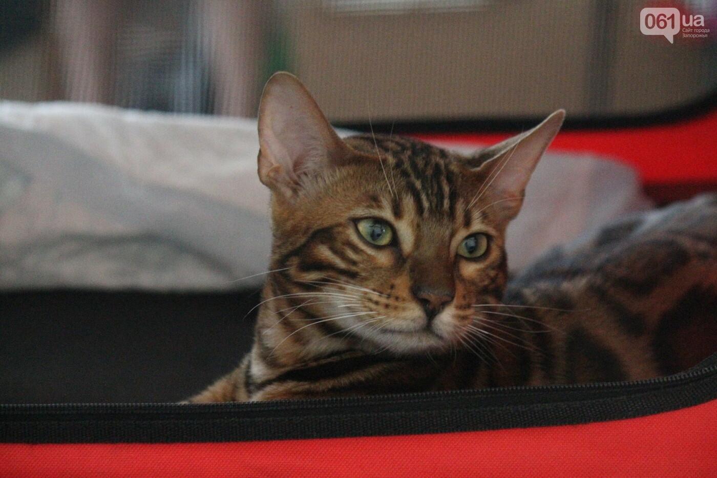 В Запорожье на выставке кошек показали 130 питомцев со всей Украины, – ФОТОРЕПОРТАЖ, фото-29