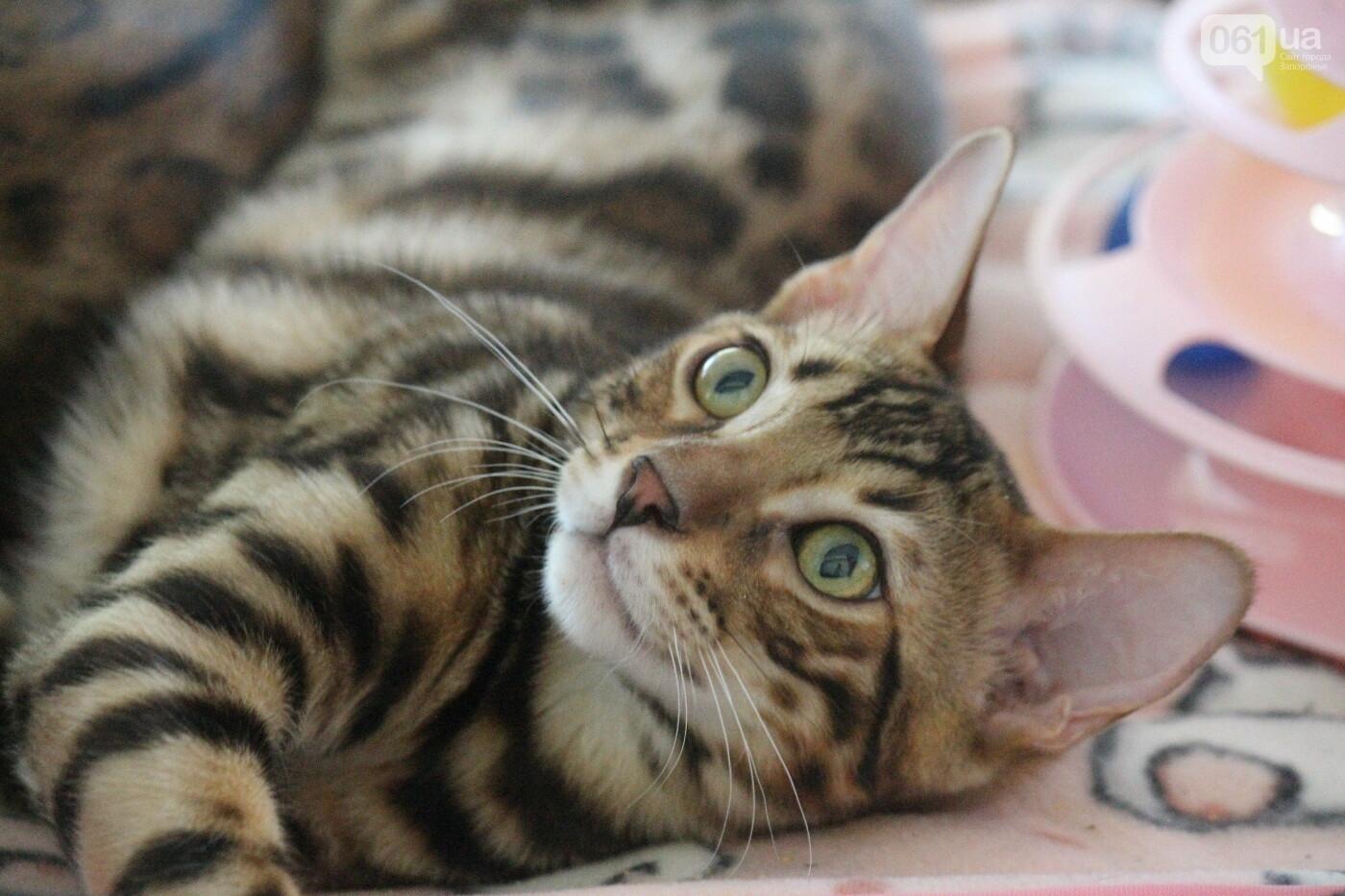 В Запорожье на выставке кошек показали 130 питомцев со всей Украины, – ФОТОРЕПОРТАЖ, фото-12