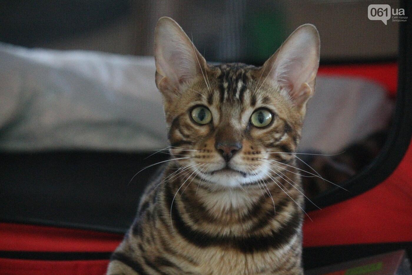 В Запорожье на выставке кошек показали 130 питомцев со всей Украины, – ФОТОРЕПОРТАЖ, фото-42