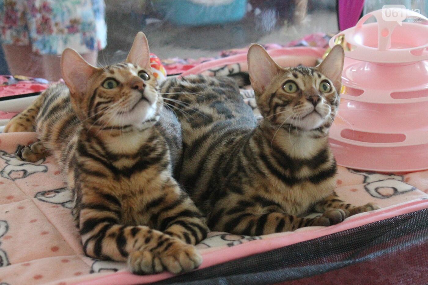 В Запорожье на выставке кошек показали 130 питомцев со всей Украины, – ФОТОРЕПОРТАЖ, фото-28
