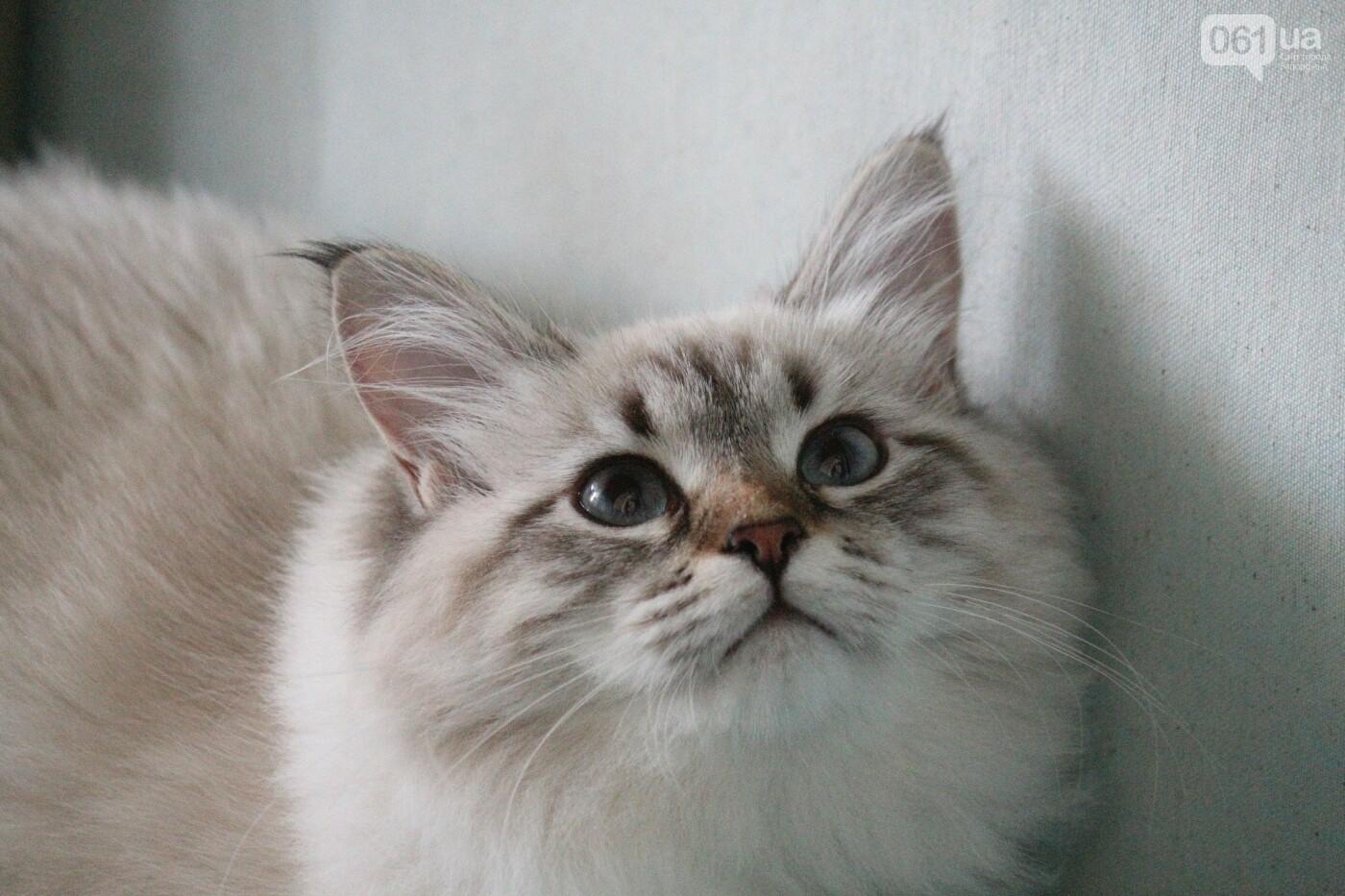 В Запорожье на выставке кошек показали 130 питомцев со всей Украины, – ФОТОРЕПОРТАЖ, фото-15
