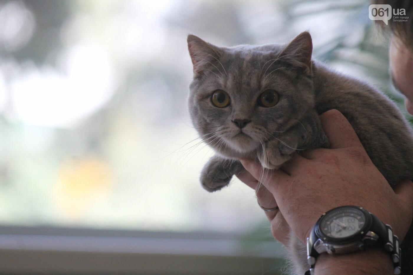 В Запорожье на выставке кошек показали 130 питомцев со всей Украины, – ФОТОРЕПОРТАЖ, фото-16