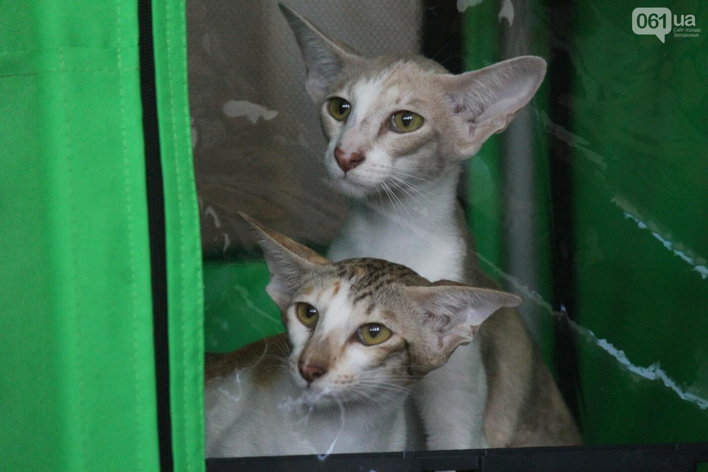 В Запорожье на выставке кошек показали 130 питомцев со всей Украины, – ФОТОРЕПОРТАЖ, фото-34