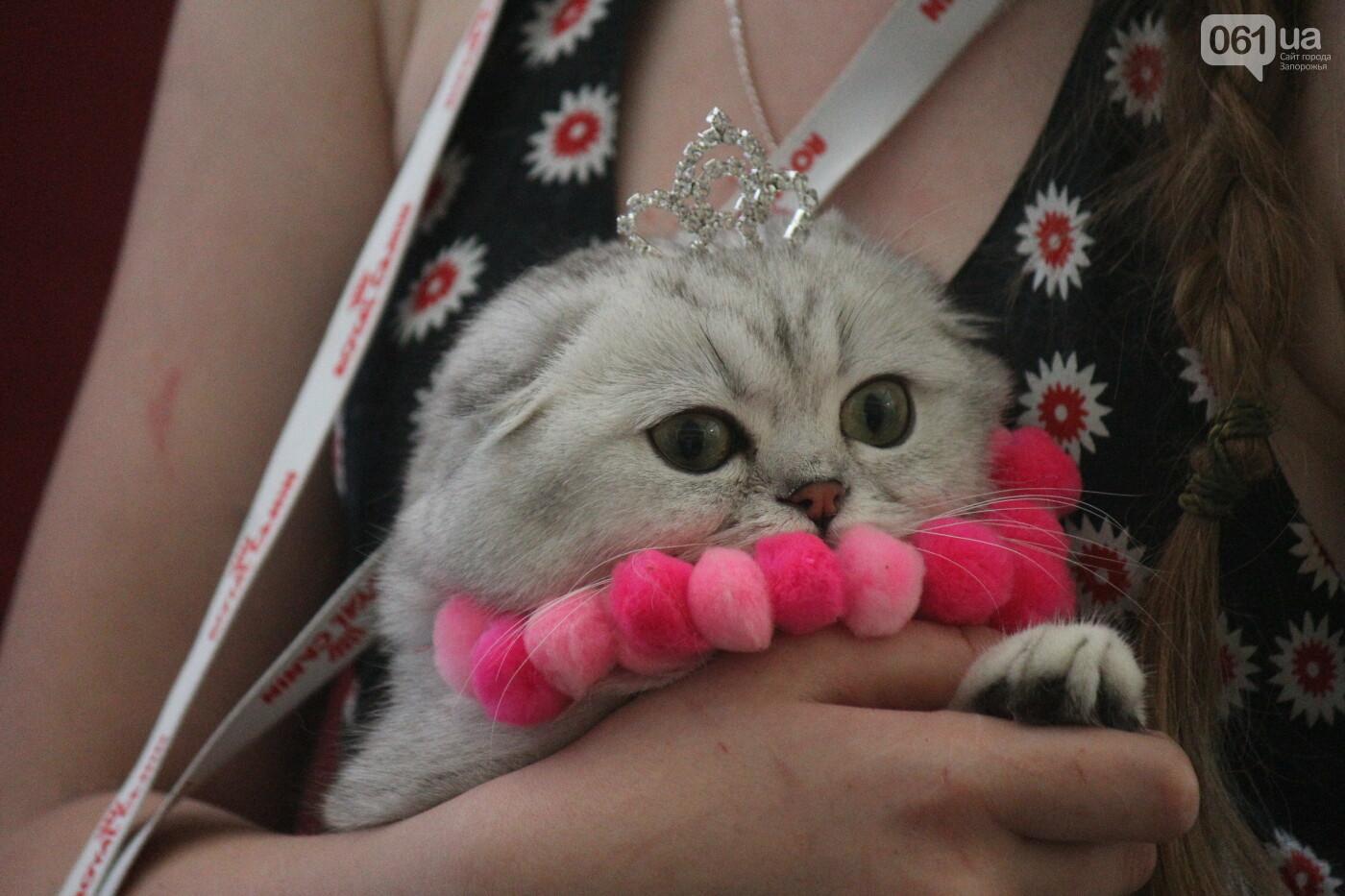 В Запорожье на выставке кошек показали 130 питомцев со всей Украины, – ФОТОРЕПОРТАЖ, фото-33