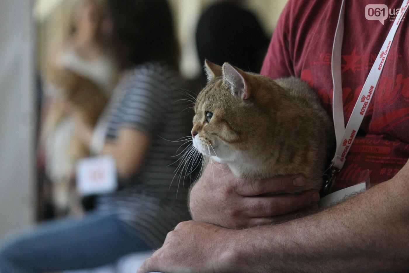 В Запорожье на выставке кошек показали 130 питомцев со всей Украины, – ФОТОРЕПОРТАЖ, фото-38
