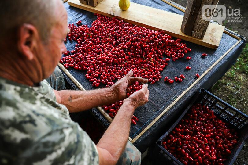 Тонны ягод: как в саду в Запорожской области собирают урожай кизила, - ФОТОРЕПОРТАЖ, фото-28