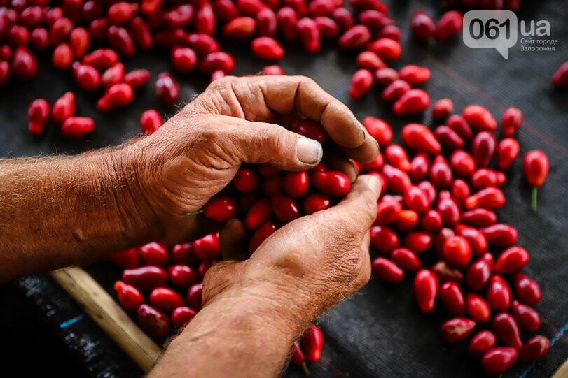 Тонны ягод: как в саду в Запорожской области собирают урожай кизила, - ФОТОРЕПОРТАЖ, фото-29