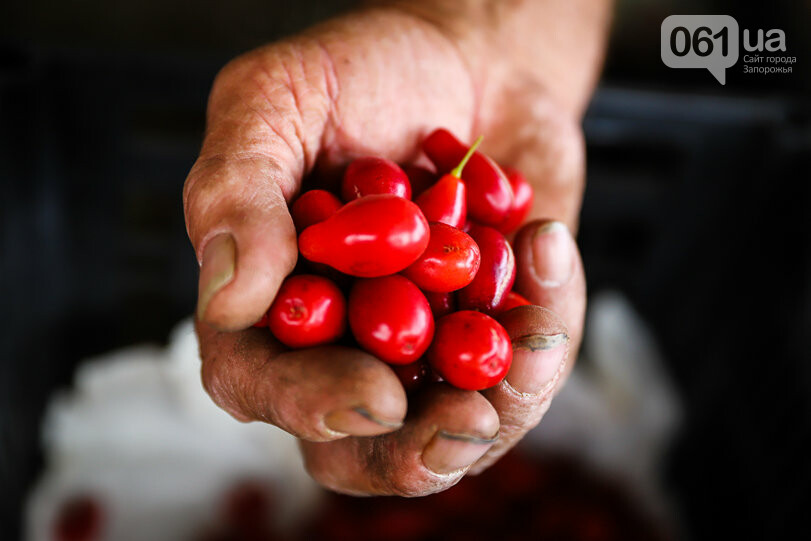 Тонны ягод: как в саду в Запорожской области собирают урожай кизила, - ФОТОРЕПОРТАЖ, фото-30