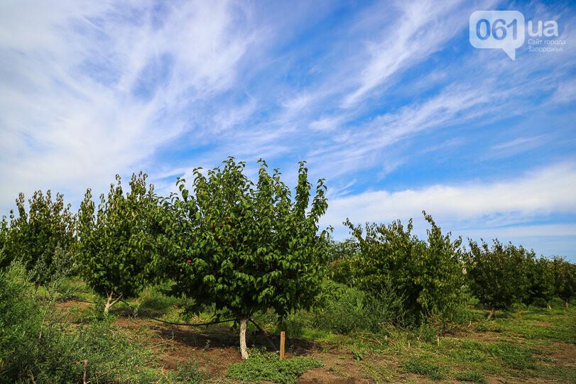 Тонны ягод: как в саду в Запорожской области собирают урожай кизила, - ФОТОРЕПОРТАЖ, фото-7