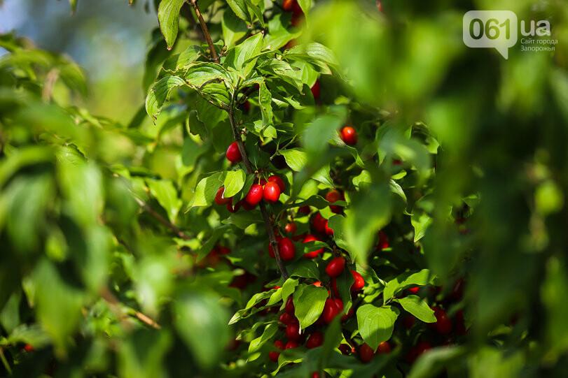Тонны ягод: как в саду в Запорожской области собирают урожай кизила, - ФОТОРЕПОРТАЖ, фото-8