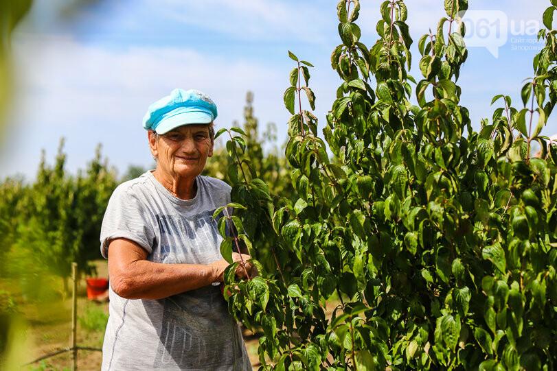 Тонны ягод: как в саду в Запорожской области собирают урожай кизила, - ФОТОРЕПОРТАЖ, фото-9