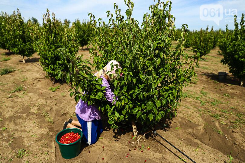 Тонны ягод: как в саду в Запорожской области собирают урожай кизила, - ФОТОРЕПОРТАЖ, фото-10