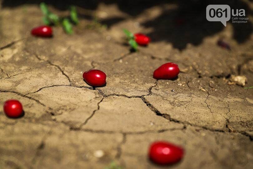 Тонны ягод: как в саду в Запорожской области собирают урожай кизила, - ФОТОРЕПОРТАЖ, фото-11