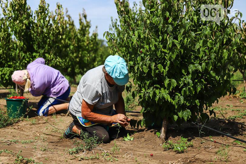 Тонны ягод: как в саду в Запорожской области собирают урожай кизила, - ФОТОРЕПОРТАЖ, фото-12