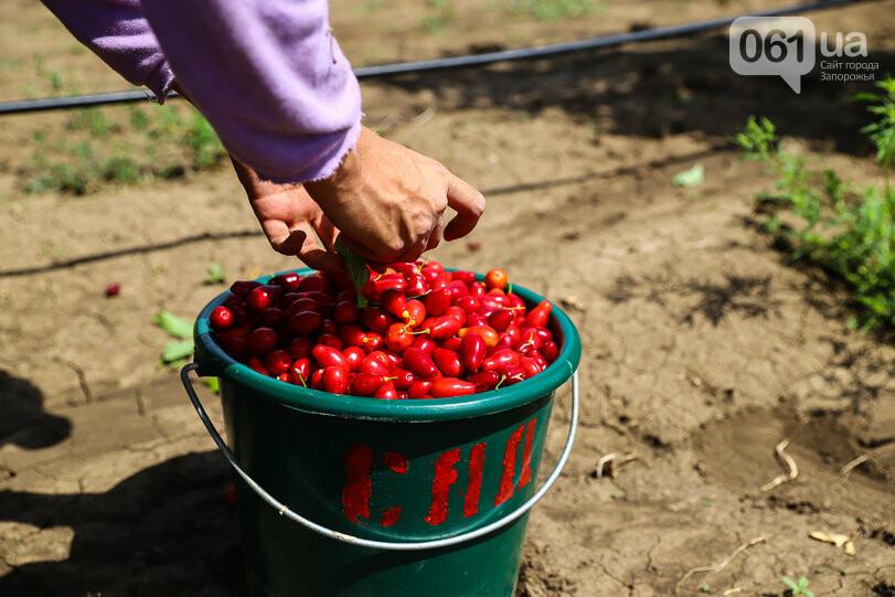 Тонны ягод: как в саду в Запорожской области собирают урожай кизила, - ФОТОРЕПОРТАЖ, фото-13