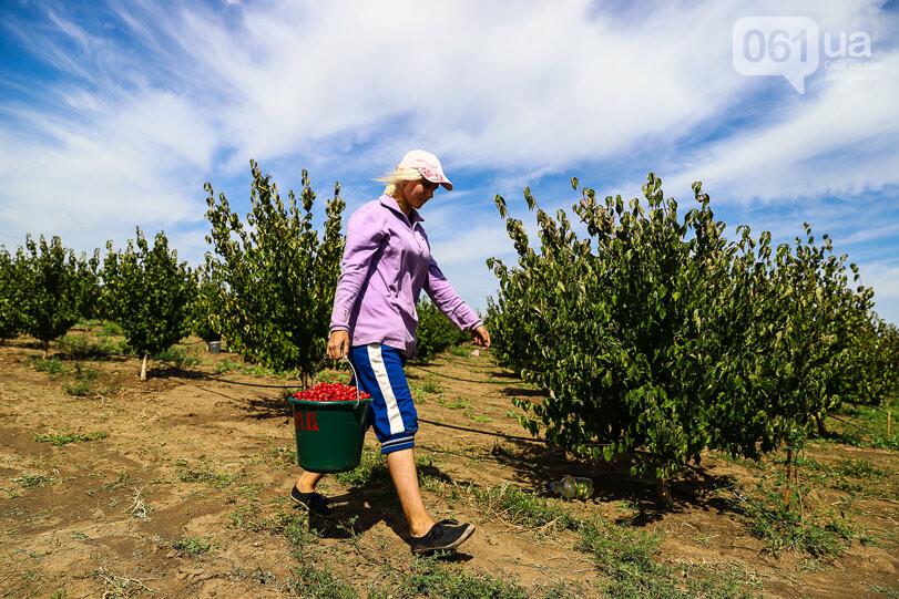 Тонны ягод: как в саду в Запорожской области собирают урожай кизила, - ФОТОРЕПОРТАЖ, фото-15