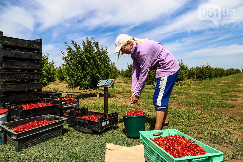 Тонны ягод: как в саду в Запорожской области собирают урожай кизила, - ФОТОРЕПОРТАЖ, фото-16