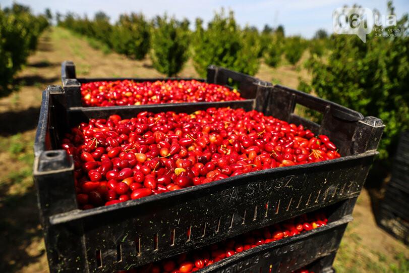 Тонны ягод: как в саду в Запорожской области собирают урожай кизила, - ФОТОРЕПОРТАЖ, фото-18