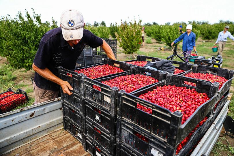 Тонны ягод: как в саду в Запорожской области собирают урожай кизила, - ФОТОРЕПОРТАЖ, фото-26