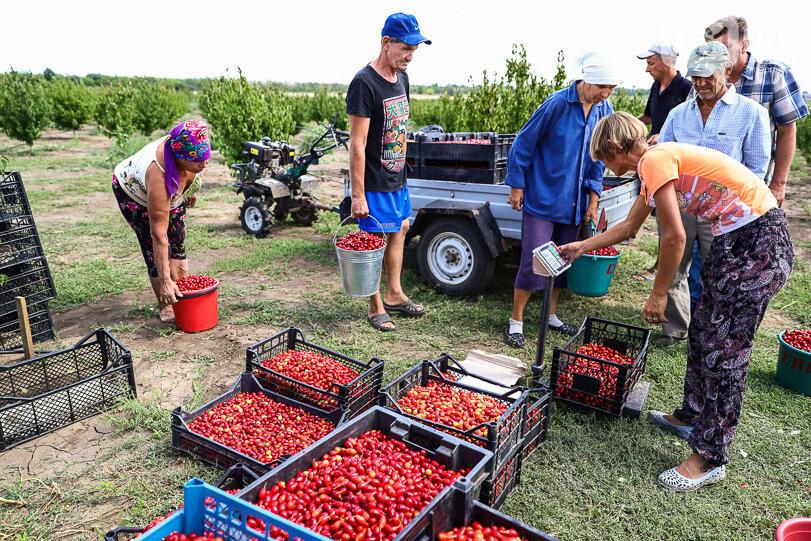 Тонны ягод: как в саду в Запорожской области собирают урожай кизила, - ФОТОРЕПОРТАЖ, фото-19