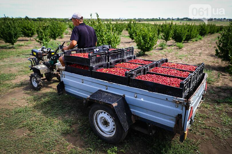Тонны ягод: как в саду в Запорожской области собирают урожай кизила, - ФОТОРЕПОРТАЖ, фото-27