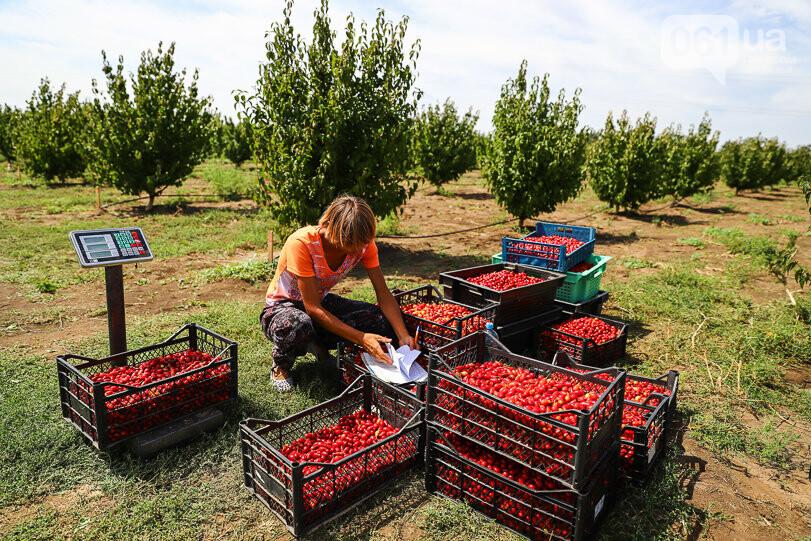 Тонны ягод: как в саду в Запорожской области собирают урожай кизила, - ФОТОРЕПОРТАЖ, фото-20
