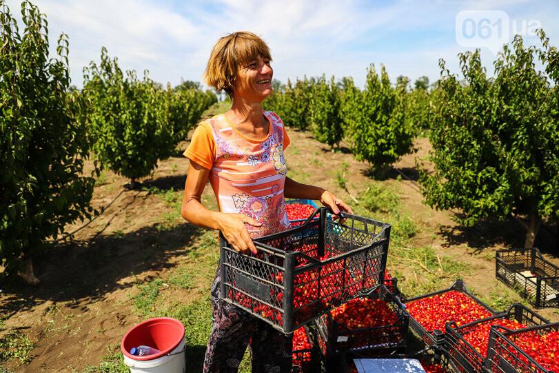 Тонны ягод: как в саду в Запорожской области собирают урожай кизила, - ФОТОРЕПОРТАЖ, фото-25