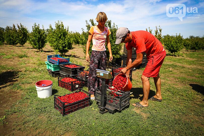 Тонны ягод: как в саду в Запорожской области собирают урожай кизила, - ФОТОРЕПОРТАЖ, фото-24
