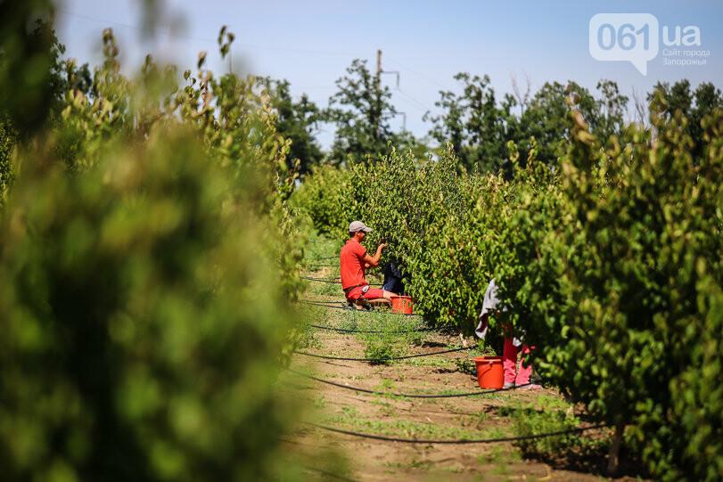 Тонны ягод: как в саду в Запорожской области собирают урожай кизила, - ФОТОРЕПОРТАЖ, фото-14