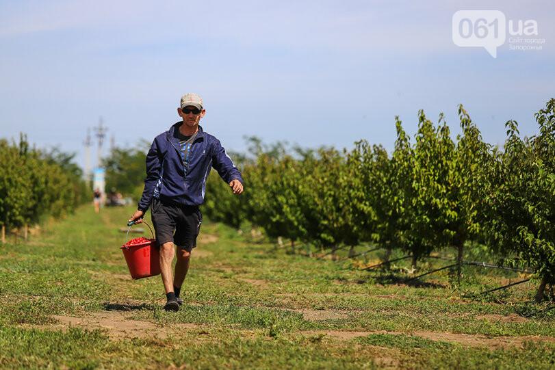 Тонны ягод: как в саду в Запорожской области собирают урожай кизила, - ФОТОРЕПОРТАЖ, фото-21
