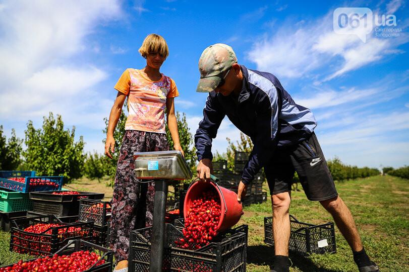 Тонны ягод: как в саду в Запорожской области собирают урожай кизила, - ФОТОРЕПОРТАЖ, фото-22