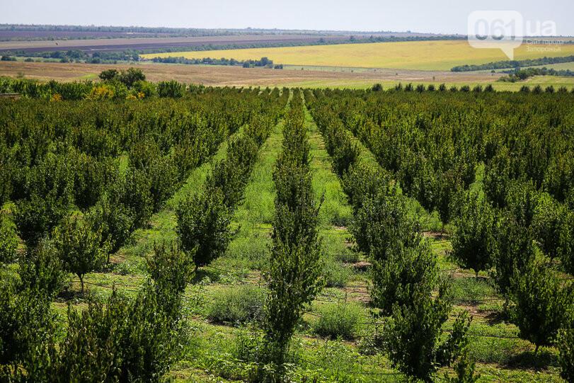 Тонны ягод: как в саду в Запорожской области собирают урожай кизила, - ФОТОРЕПОРТАЖ, фото-1