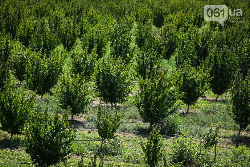 Тонны ягод: как в саду в Запорожской области собирают урожай кизила, - ФОТОРЕПОРТАЖ, фото-2