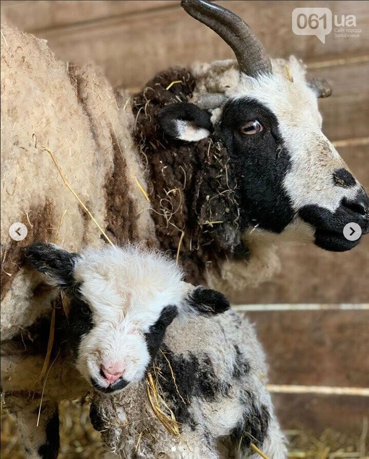 В зоопарке под Мелитополем родилась четырехрогая овечка редкой породы, - ФОТО, ВИДЕО, фото-1