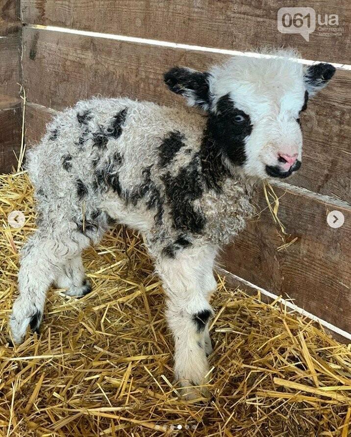 В зоопарке под Мелитополем родилась четырехрогая овечка редкой породы, - ФОТО, ВИДЕО, фото-4