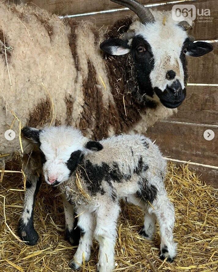 В зоопарке под Мелитополем родилась четырехрогая овечка редкой породы, - ФОТО, ВИДЕО, фото-5