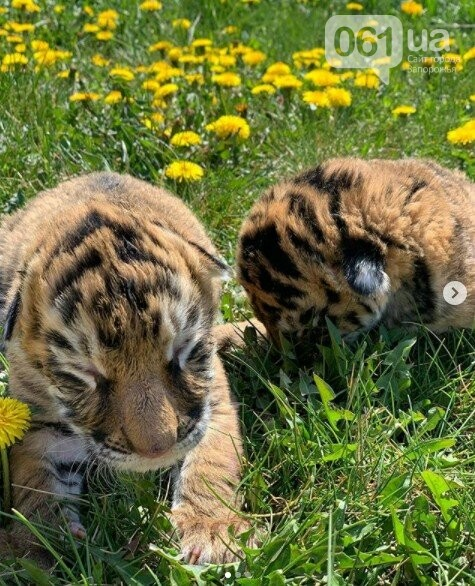В мелитопольском зоопарке выхаживают тигрят, от которых отказалась мама, фото-1