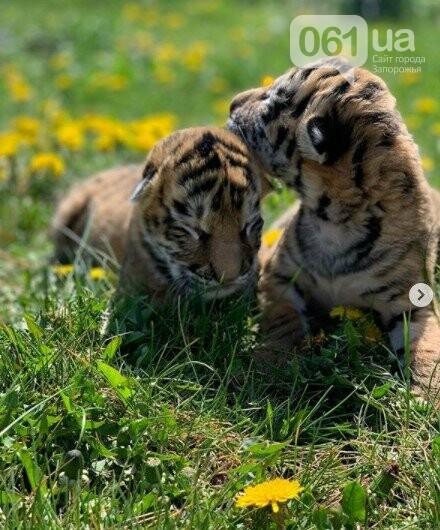 В мелитопольском зоопарке выхаживают тигрят, от которых отказалась мама, фото-2